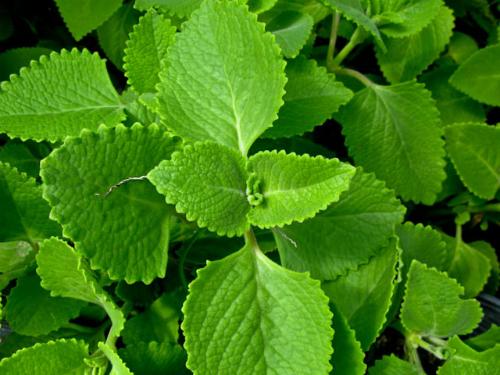 Húng chanh là một vị thuốc trong danh mục 70 cây thuốc Nam thiết yếu của Bộ Y tế.