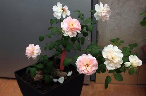 nhung-ngoi-nha-thom-ngat-trong-huong-hoa-hong-2