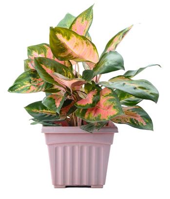 Vạn niên thanh lá sọc: Loại cây có hai sắc màu hồng-xanh đem lại cảm giác sống động cho các góc phòng cách xa cửa sổ.