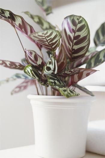Cây đuôi công: Những chiếc lá có họa tiết lạ mắt với các màu tím, hồng, xanh không thích hợp với nơi có nhiều ánh sáng. Khi đó, lá của chúng sẽ bị nhạt màu.