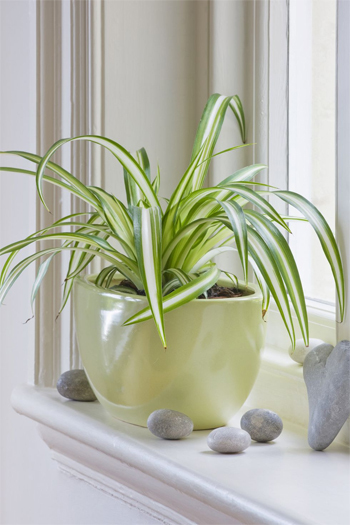 Cây nhện: Đây là một trong những loại cây trồng trong nhà được ưa chuộng nhất bởi không tốn công chăm sóc và dễ dàng nhân giống từ các nhánh.