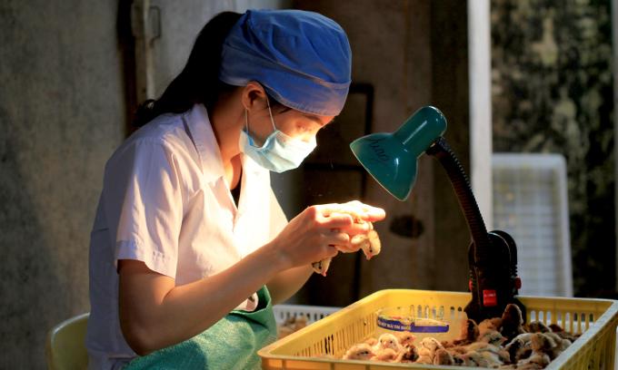 Chị Dung dùng ngón 2,3 để kẹp cổ gà, ngón 4 và 5 để xem lỗ huyệt, so le hai bàn tay nên tính ra chỉ khoảng 2 giây đã phân biệt là trống hay mái. Ảnh: Phan Dương.