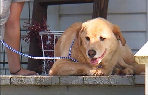 Chú chó đi bộ 80km để về nhà cũ. Ảnh: KMBC.