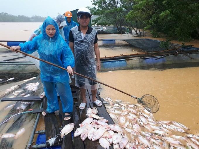 Anh Lê Trung (nón trắng) cố vớt những con cá còn sống để bán rẻ cho người dân quanh vùng với giá chỉ vài nghìn đồng một ký. Anh chỉ bán được 3 tạ cá, mất trắng hơn 10 tấn cá đến ngày thu hoạch. Ảnh: Đại Sơn.