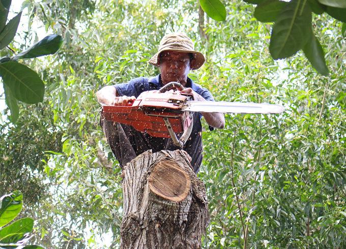 Khi cưa những cây thẳng đuột ông Tùng thường kẹp hai chân vào thân cây rồi cưa từng khúc ngắn từ trên xuống dưới. Để nghỉ mệt, ông ngồi xổm như thế này. Ảnh: Diệp Phan.