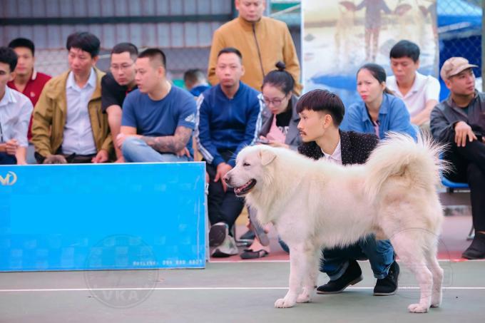 Sói trong Cuộc thi các giống chó bản địa ngày 25/10. Ảnh: VKA.