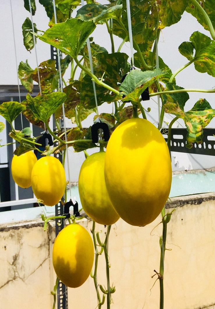 Khu vườn chục loại dưa trên sân thượng của cô gái Sài Gòn