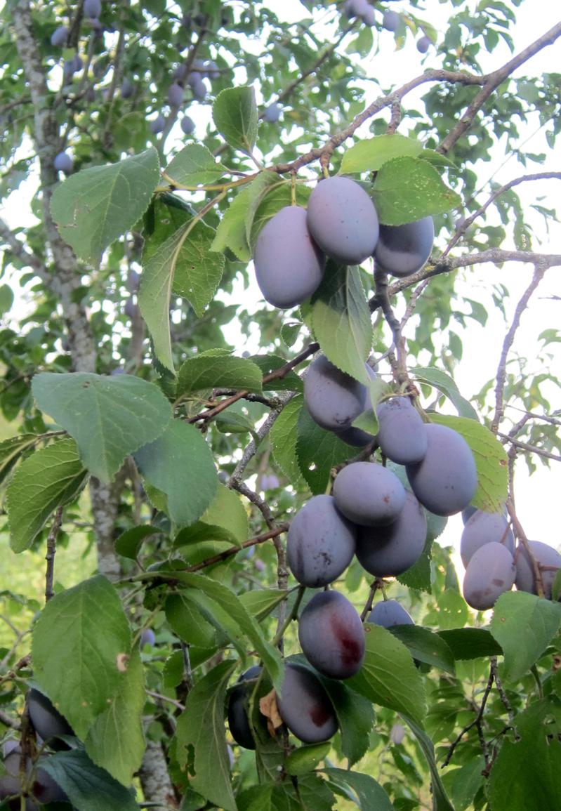 Trái cây chín mọng trong trang trại của vợ chồng Việt - Pháp