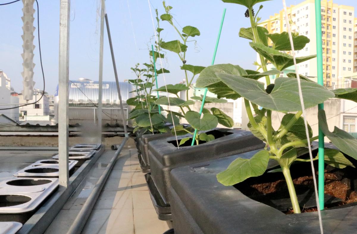 Vườn rau, ao cá trên sân thượng của chàng trai Sài Gòn
