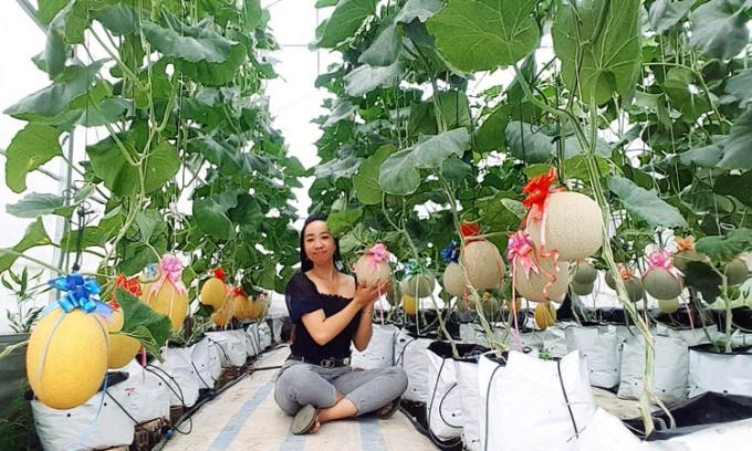 Dàn dưa lưới được trồng trong nhà màng rộng 30m2 của Mỹ Tú- nữ nhân viên văn phòng tại Kiên Giang.