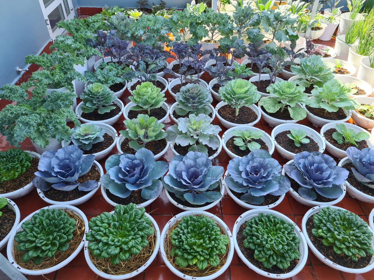 Vườn rau sân thượng nhiều loại