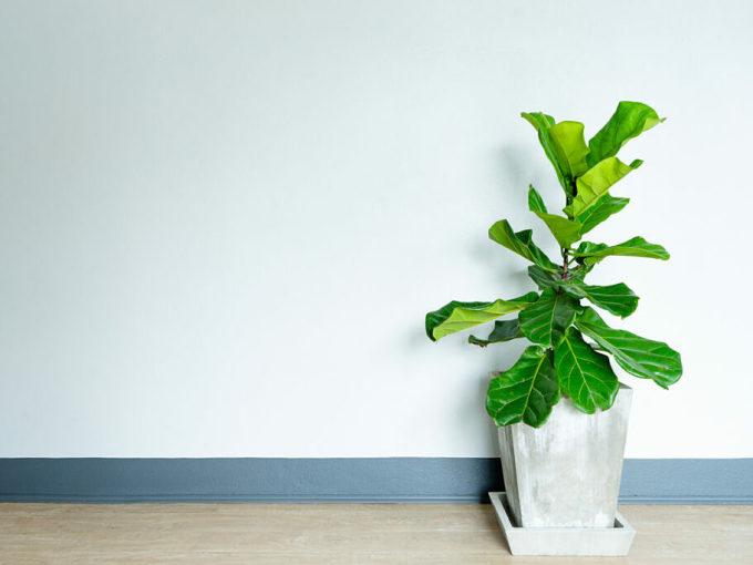 Bàng Singapore hay được chọn trồng ở phòng khách. Ảnh: gardeningknowhow.