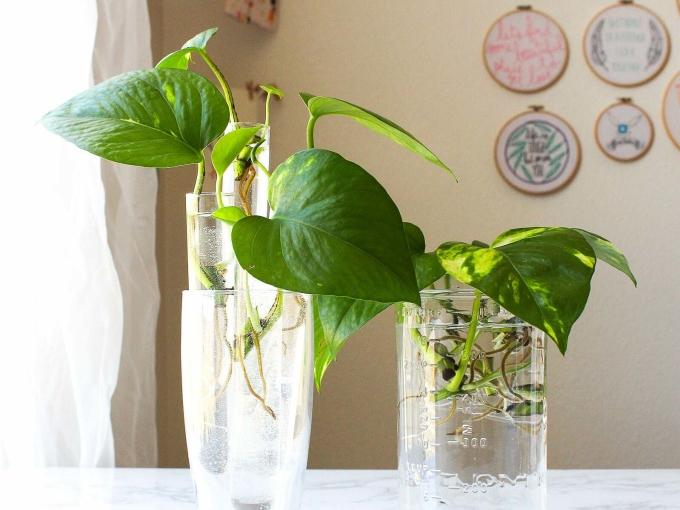 Trầu bà trồng trong nước là lựa chọn cây xanh hợp lý cho phòng tắm. Ảnh: instructables.