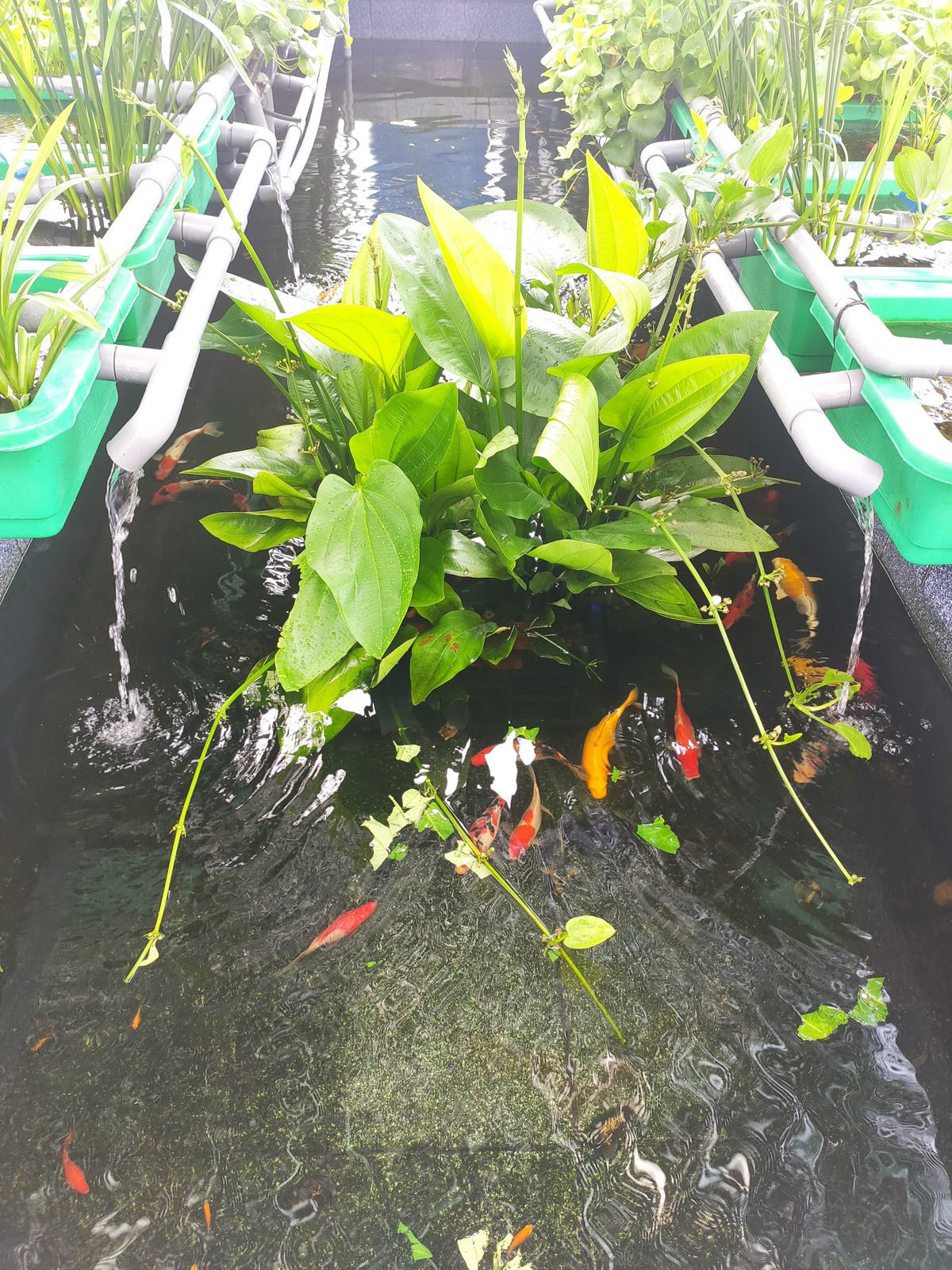 Người đàn ông trồng rau, nuôi cá trên sân thượng