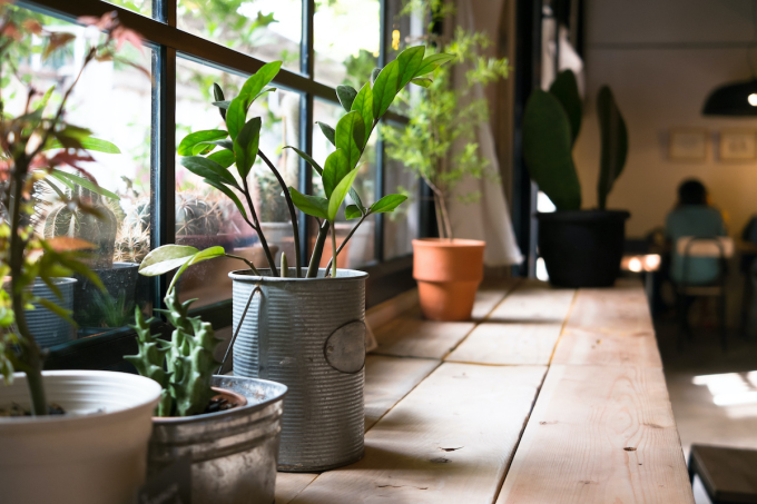 Việc trồng cây trong nhà đòi hỏi gia chủ phải là người yêu cây cối, có thời gian chăm sóc. Ảnh: Shutterstock.