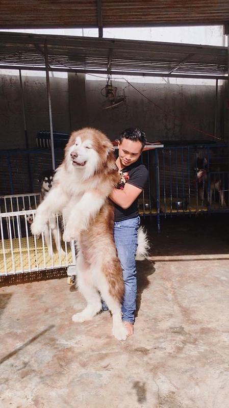 Tiến bên cạnh một chú chó kiểng dòng Alaska. Mỗi con trưởng thành có thể nặng 60-70 kg, có già từ hàng chục đến hàng trăm triệu tùy vào hình dáng bên ngoài. Ảnh: Nhân vật cung cấp.